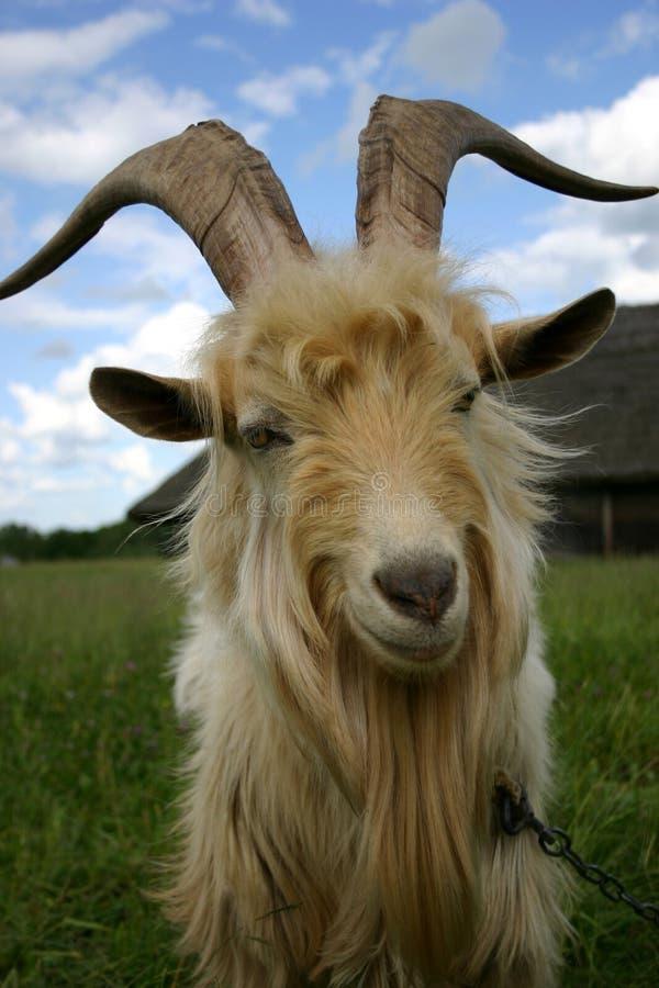 Ziege, die Sie betrachtet lizenzfreie stockfotografie