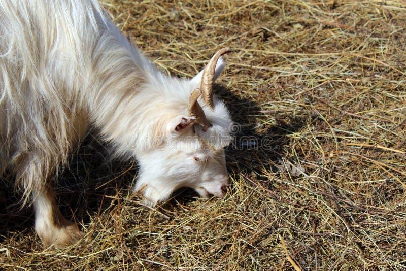 Ziege, die trockenes Gras weiden lässt lizenzfreies stockfoto