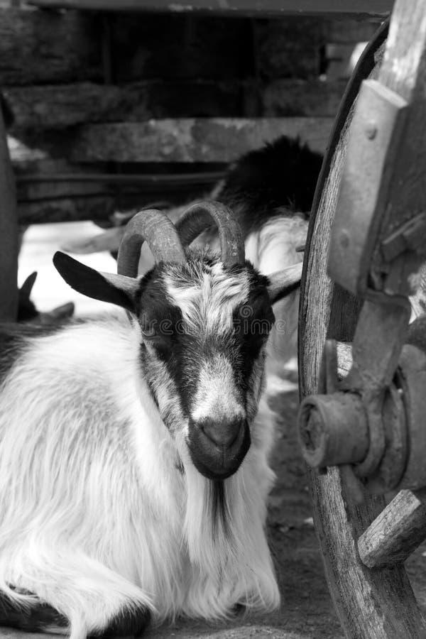Ziege, die unter altem hölzernem Warenkorb stillsteht lizenzfreie stockbilder