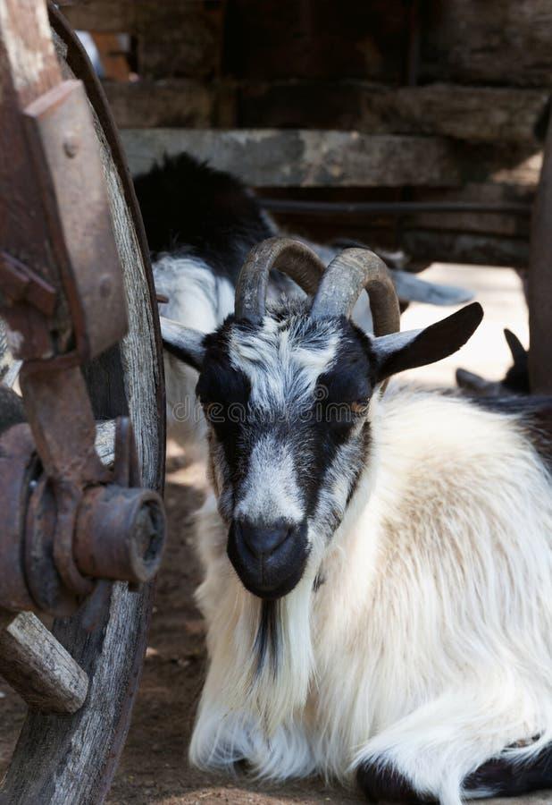 Ziege, die unter altem hölzernem Warenkorb stillsteht stockfotografie