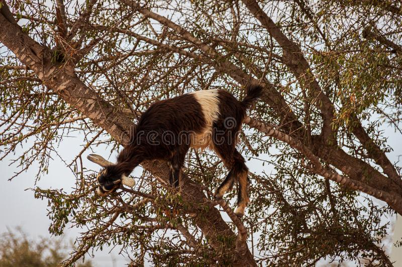 Goat in an argan tree feeding its fruits royalty free stock images