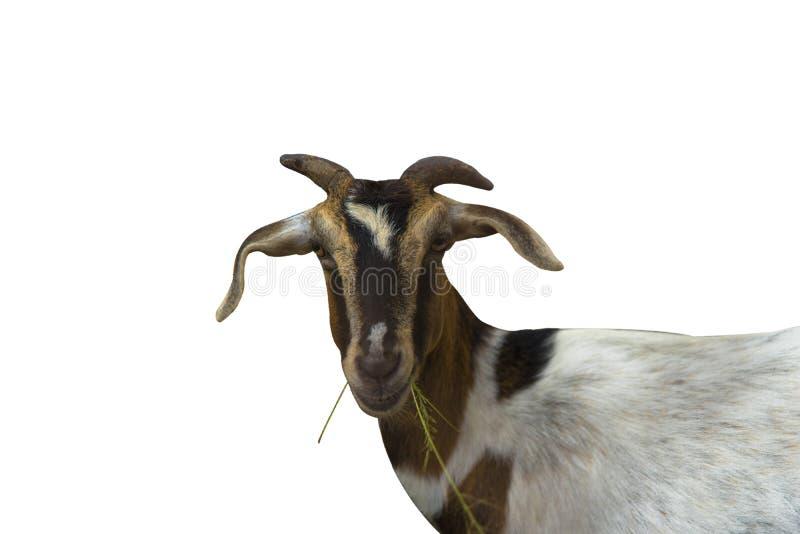 Ziege essen auf dem weißen Hintergrund, der benutzt wird, um Elemente zu organisieren stockbilder