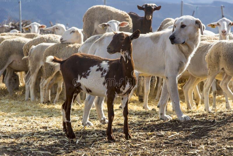 Ziege, Hund, Schaf leben auf dem Bauernhof in Herden stockbilder