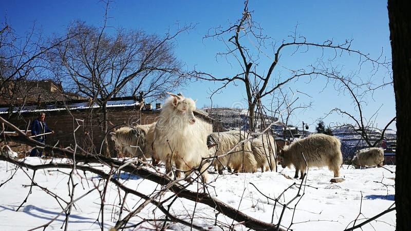 Ziege im Schnee lizenzfreies stockbild