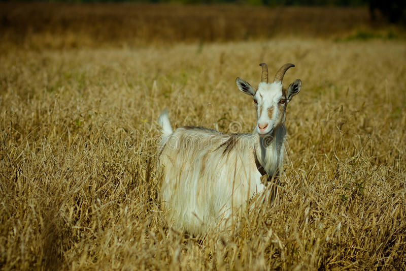 Ziege im trockenen Gras lizenzfreie stockfotografie