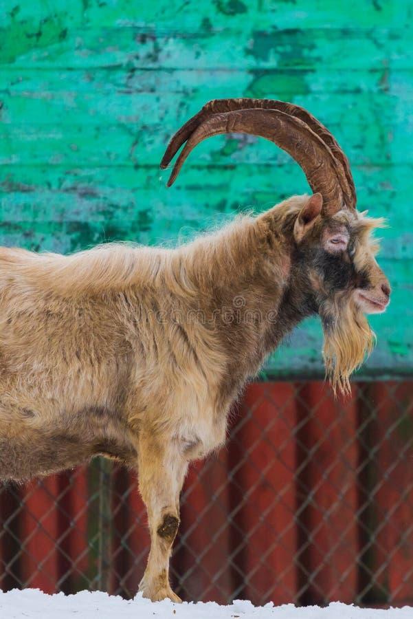 Ziege mit Hörnern und Bart im Dorf lizenzfreie stockfotografie