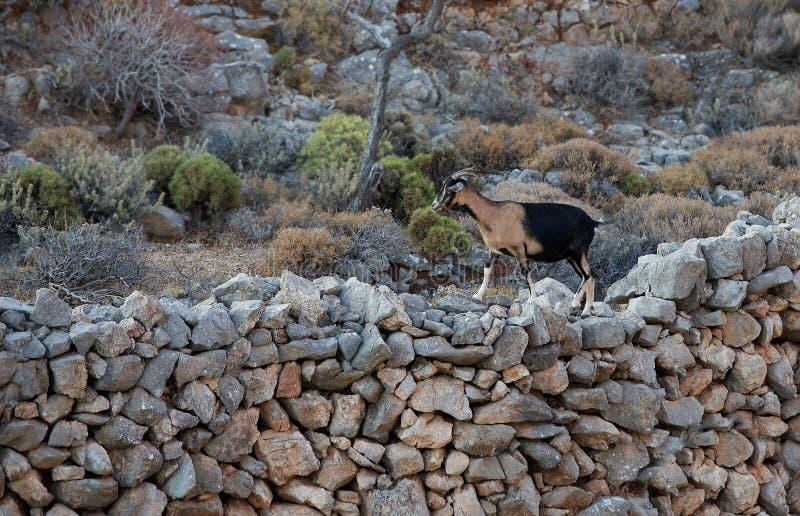 Ziege Populäres Tier in Griechenland-Inseln, Ziege, wilde Ziege, Ziege in Tilos-Insel lizenzfreie stockfotografie