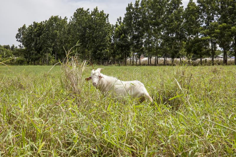 Ziege in san leonardo nueva ecija stockfotografie