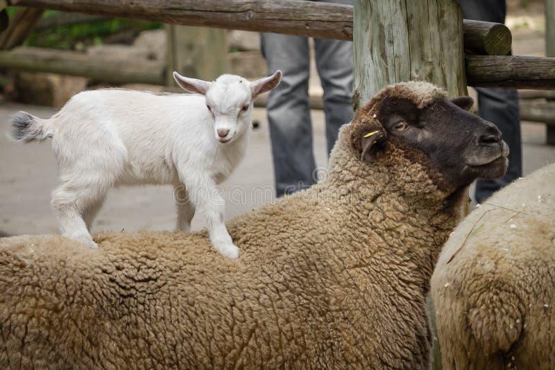 Ziege und Schafe stockfotografie