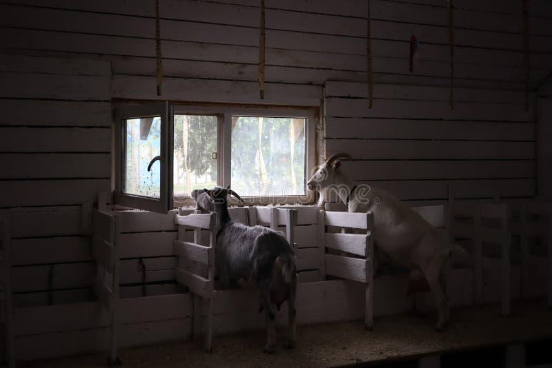 Ziegen auf dem Bauernhof zwei Ziegen schauen heraus das Fenster lizenzfreies stockfoto