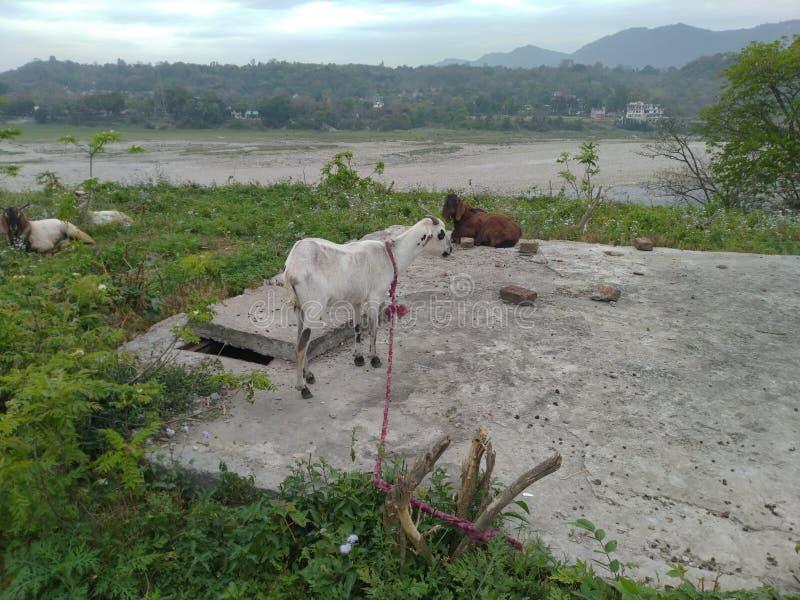Ziegen auf dem Foto von Himachal Pradesh India 1 lizenzfreie stockfotografie
