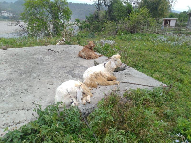 Ziegen auf dem Foto von Himachal Pradesh India 2 lizenzfreie stockfotos