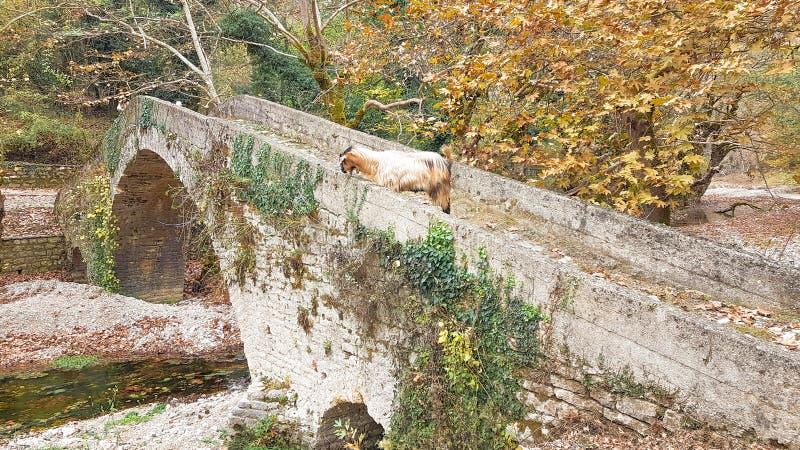Ziegen auf der Brücke in Vrosina-Dorf in Ioannina Griechenland lizenzfreie stockbilder