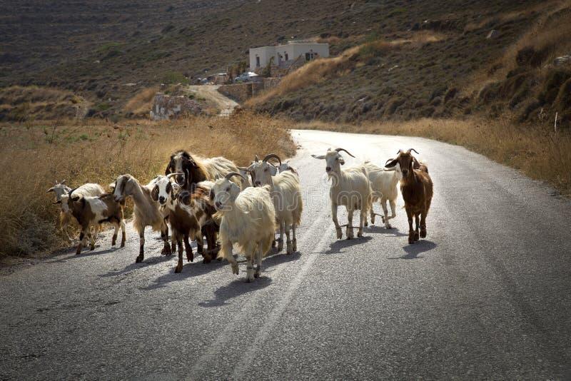 Ziegen auf der Straße stockfoto
