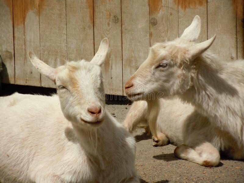 Ziegen auf einem Bauernhof lizenzfreie stockbilder
