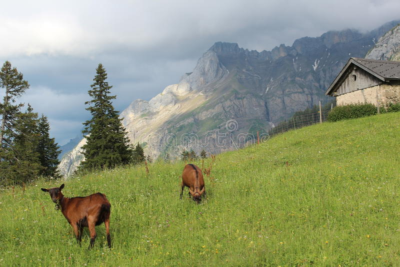 Ziegen in den Bergen von der Schweiz stockbilder