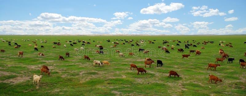 Ziegen in der mongolischen Steppe stockbilder