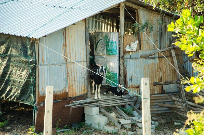 Ziegen, die an der Schwelle zu der vietnamesischen Hütte sitzen lizenzfreie stockbilder