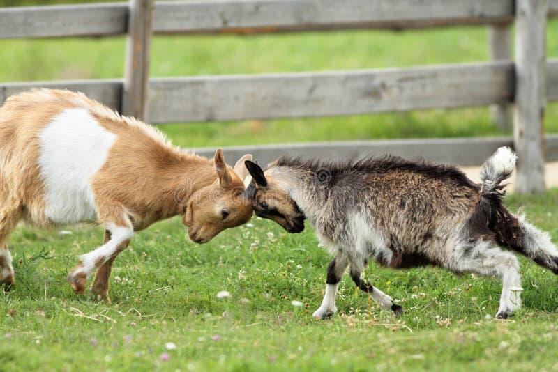 Ziegen, die mit ihren Köpfen kämpfen stockfoto