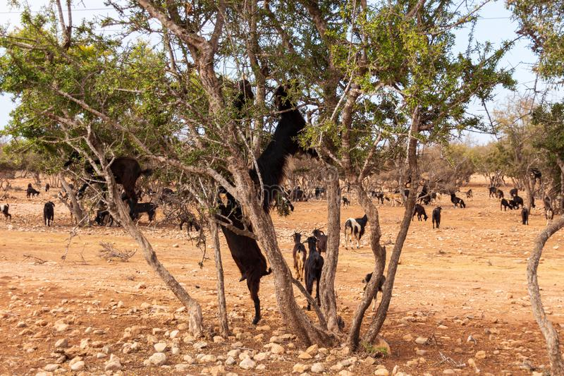 Herd of goats near argan trees stock image