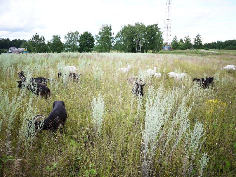 Ziegen lassen auf dem Gebiet weiden Eine Herde von Ziegen das Gras auf einem sonnigen Tag, auf den Details und auf der Nahaufnahm stockfotografie