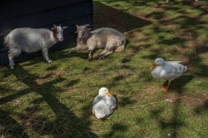 Ziegen und Enten, die auf einem Bauernhof in Lisse, die Niederlande, Europa stillstehen stockfoto