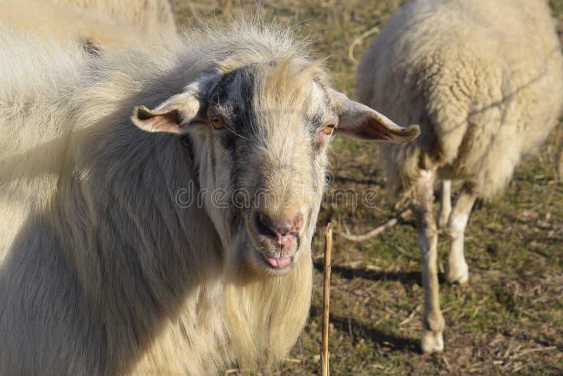 Ziegen und kleine gehörnte Scones der Schafe auf Weide lizenzfreie stockfotografie