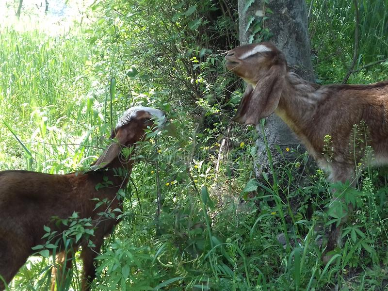 Ziegen während des Essens des Grases stockbilder
