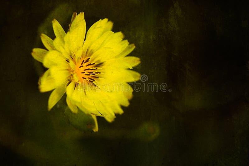 Ziegenbart, Tragopogonmajor, gelbe Blume stockfoto
