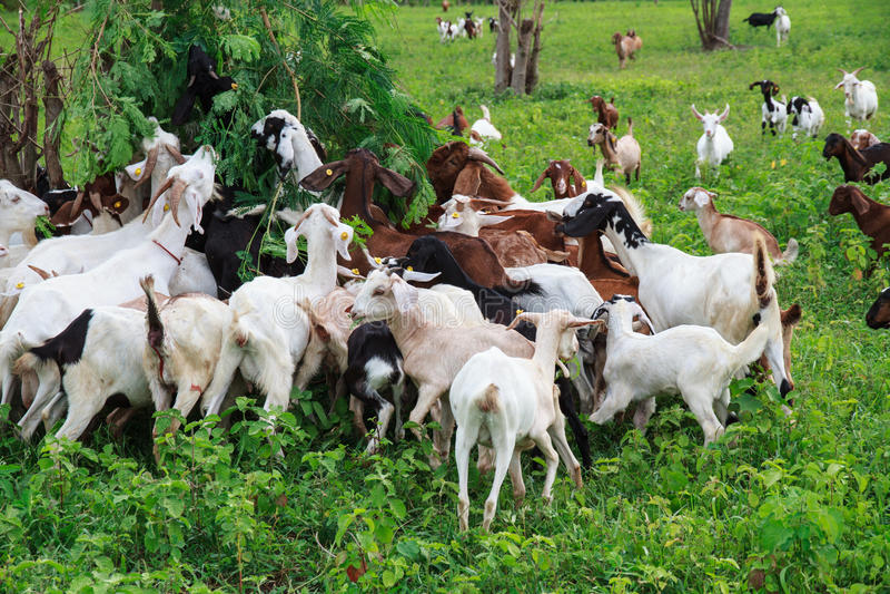 Ziegenbauernhof stockbilder