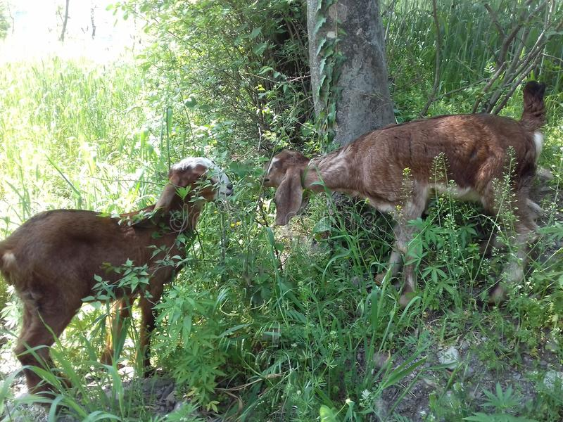 Ziegenkinder sind während des Essens des Lebensmittels stockfoto
