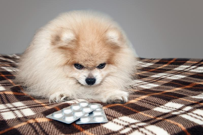 Ziek Pomeranian-puppy die naast de tabletten voor de behandeling na een bezoek aan de veterinaire kliniek leggen De behandeling e stock afbeeldingen