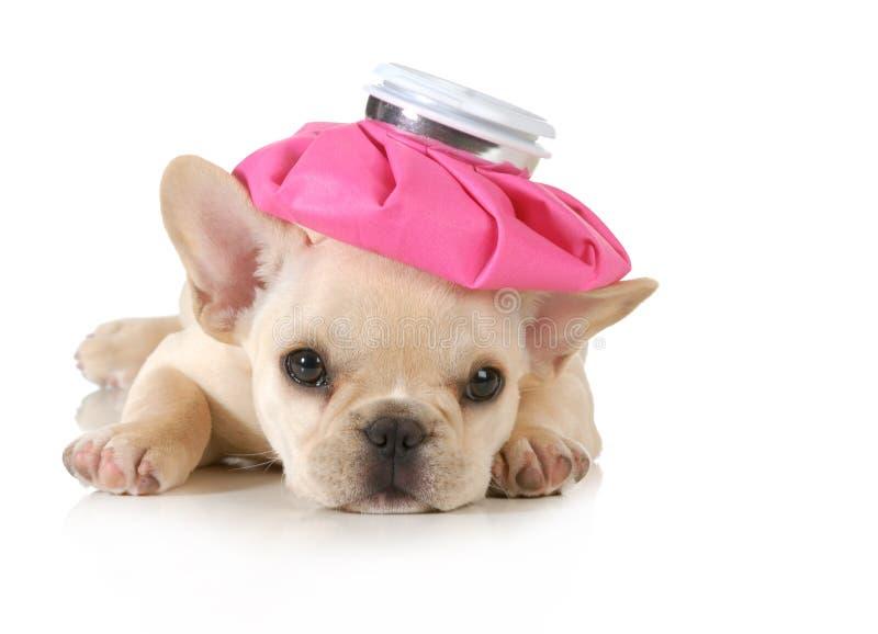 Ziek puppy stock foto