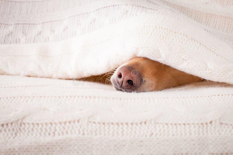 Ziek, zieke hond of slaap royalty-vrije stock foto's