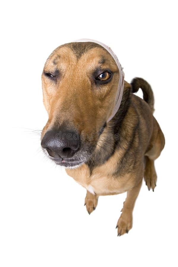 Zieke hond met verband royalty-vrije stock afbeeldingen