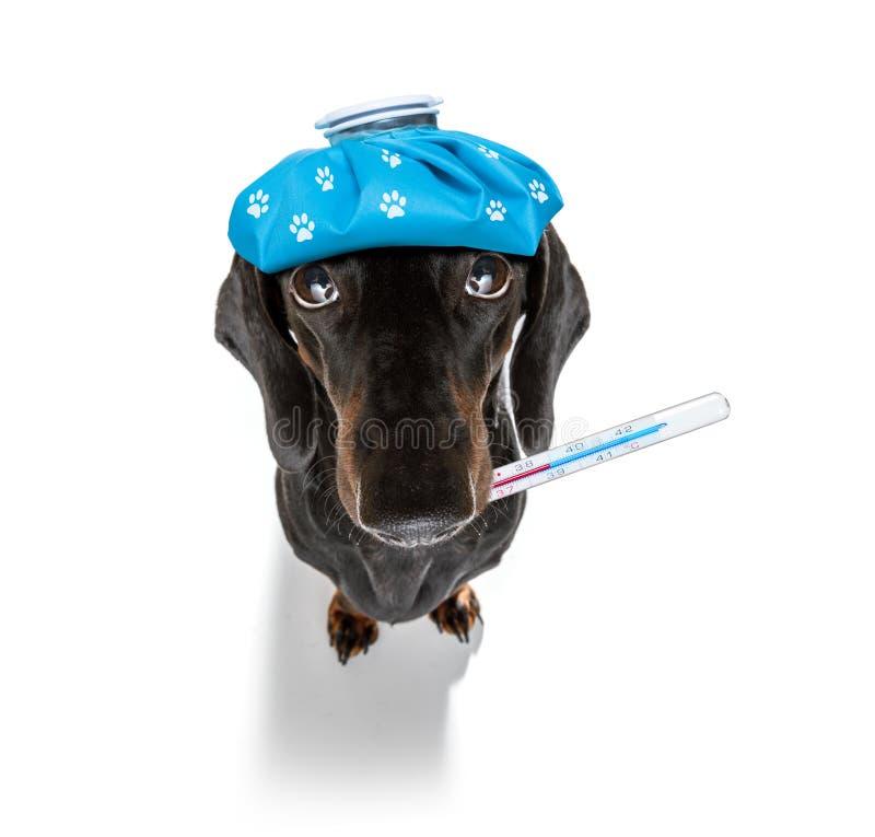Zieke zieke hond met ziekte stock fotografie