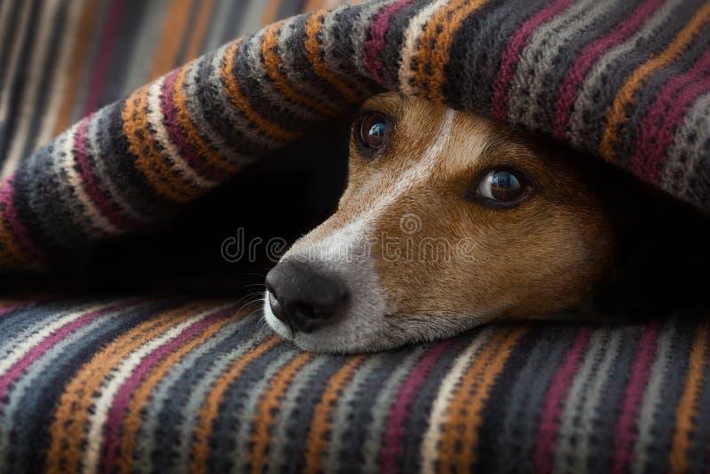 Zieke hond of slaap stock afbeeldingen