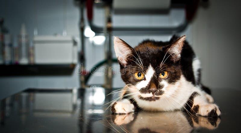Zieke kat bij de dierenarts royalty-vrije stock foto