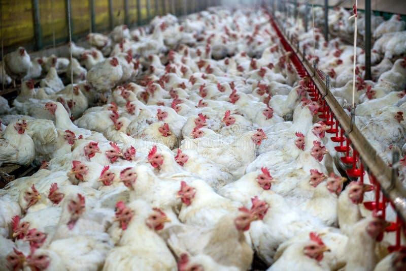 Zieke kip of Droevige kip in landbouwbedrijf, Epidemie, vogelgriep royalty-vrije stock foto