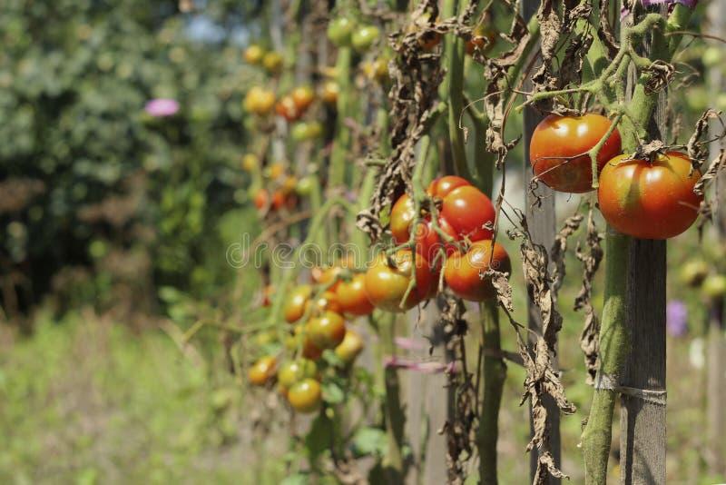 Zieke tomaten in de tuin, de groenten besmet met recente vloek stock afbeeldingen