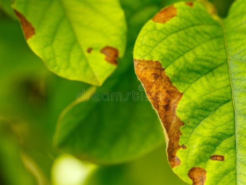 Ziekte van fruitbomen royalty-vrije stock fotografie
