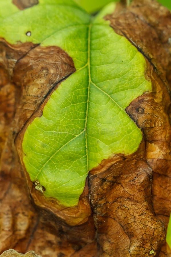 Ziekte van fruitbomen stock foto's