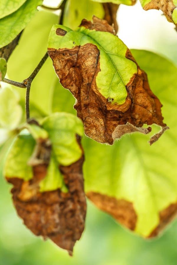 Ziekte van fruitbomen stock afbeelding