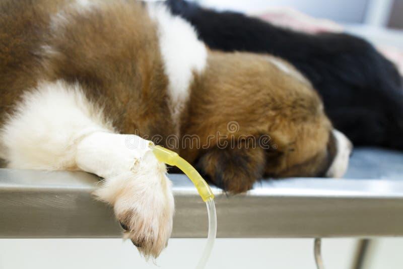 Ziektepuppy (Thaise bangkaewhond) met voeden door infusie op werkende lijst in de kliniek van de dierenarts royalty-vrije stock foto