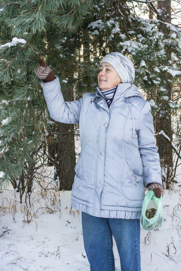 Zielarka zbiera sosnowych rożki dla leczniczych purposes obraz royalty free