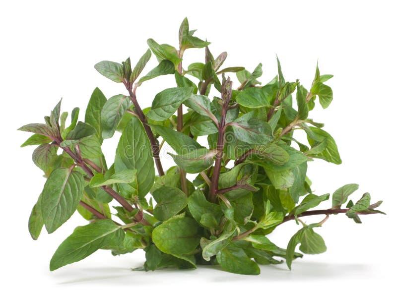 zielarski spearmint zdjęcia stock