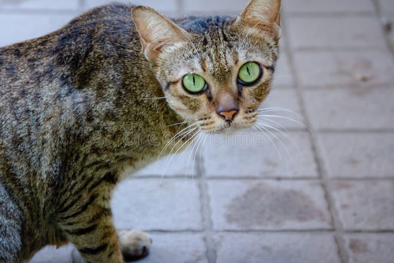 Zieleń koty, zielonych oczu patrzeć obraz stock