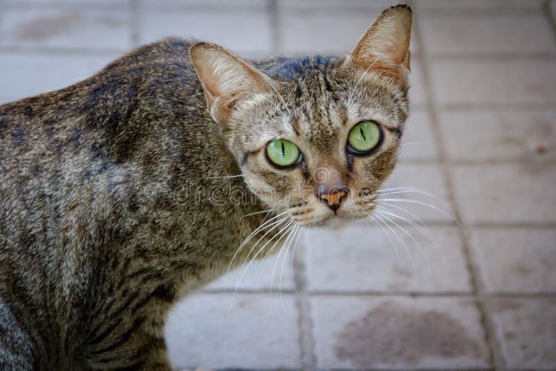 Zieleń koty, zielonych oczu patrzeć obrazy stock