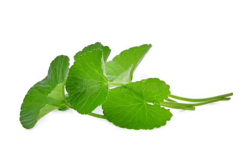 Zieleń liście asiatica centella, asiatic wąkrota, centella asiatica linn Miastowy tropikalny ziele odizolowywający na bielu zdjęcia stock