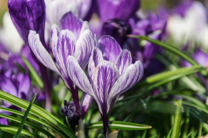 Zieleń badyle purpurowi biali wiosna krokusy obraz stock